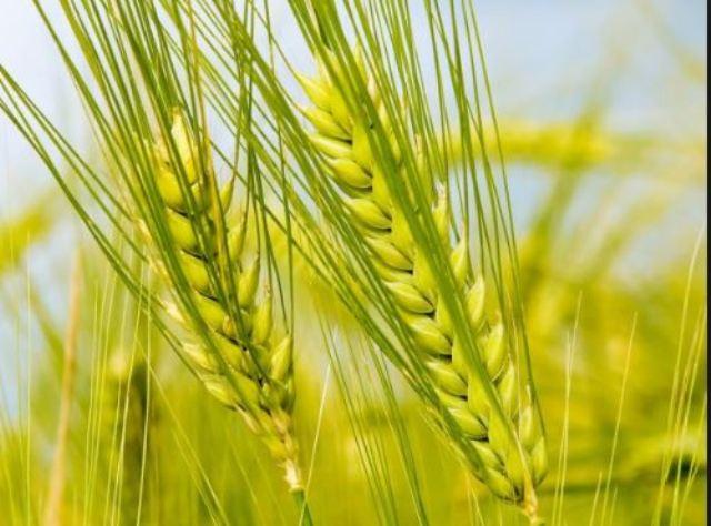 зерно жито