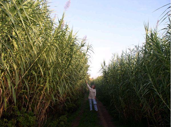Заросли промышленного бамбука